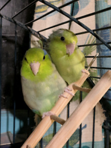 Bonded pair of parrotlets