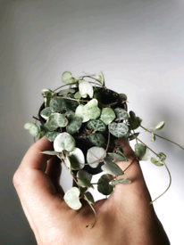 Variegated string of hearts Ceropegia woodii houseplant indoor plant