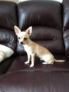 Chihuahua miniature femelle à vendre