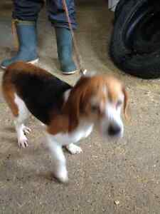 4 BEAGLES FOR SALE