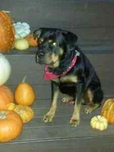 7 year old male rottweiler