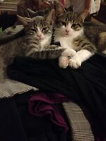 Female kitten free (on the right)
