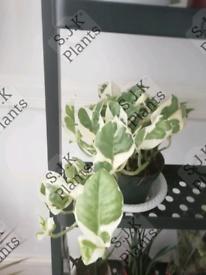 Njoy pothos hanging plant