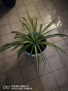 Beautiful Indoor Plant for Sale