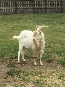 Billy goat for sale