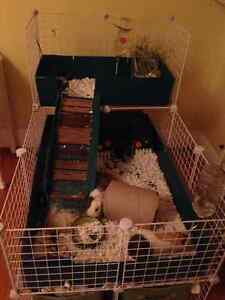 Guinea pigs with cage and supplies London Ontario image 1