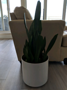 Snake plant with beautiful white pot