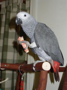 Hand raised adorable African grey babies