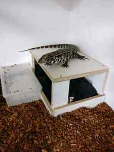 Tame Argentine Black and White Tegu + Set-up