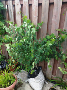Trembling Aspen – 2 and half  Year Old FOR SALE IN BRAMPTON .