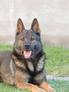 CKC Registered German Shepherd Pups