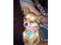 Kc registered chihuahua female