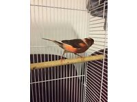 Female harlequin canary for sale