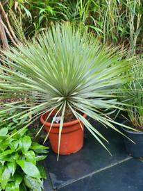Yucca rostrata tropical garden plant/ palm tree