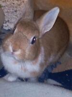 Nether-land Dwarf Rabbit