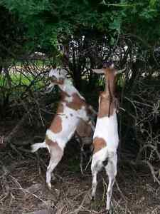 Pasture Reclamation / Brush Clearing with Goats!