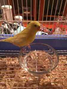 Need to sell ASAP: Young male Budgie