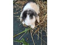 Mini lop baby rabbit for sale