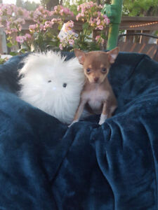 Beautiful Tiny Pom Chi's Available !! Ready To Go This Weekend!!
