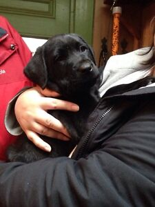 Lab pups ready to go now only 4 pups left