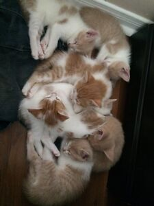 """5 """"rosey"""" coloured kittens available."""