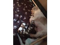 Shih tzu Puppies ready 9th of may £550 please read all description thanks!!