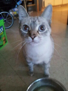 Free to a good home.  Siamese Tabby mix. Kitchener / Waterloo Kitchener Area image 1