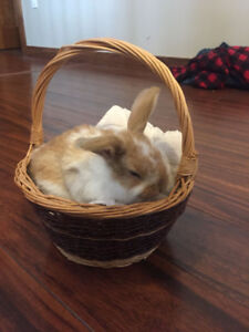Rex lop bunnies for sale