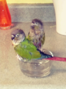 2 GREEN-CHEEKED CONURES