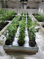 Licensed Marijuana Grow Op
