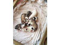 Pedigree husky pups