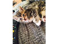 3 gorgeous tabby and white kittens ( 1x girl and 2x boys)