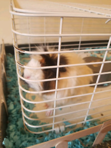Guinea pigs for rehoming
