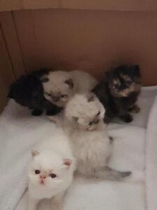 Persian / Ragdoll kittens