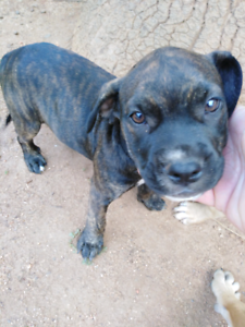 Staffy X Bandog pups for sale