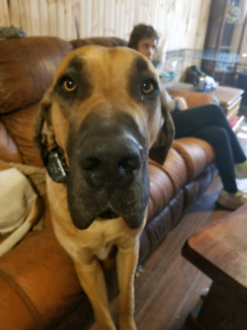 Looking for a great dane