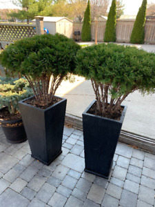 outdoor evergreen shrub round with large planter X2 - $100