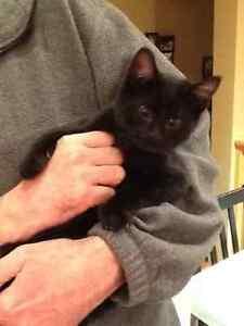 Black kitten found in west end.