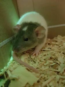 Dumbo Rat to good home