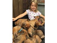 Rhodesian Ridgeback KC Puppies
