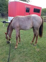 QUIET QUIET Yearling Red Roan QH cross Filly For Sale!!!