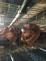 Quails and eggs for sale