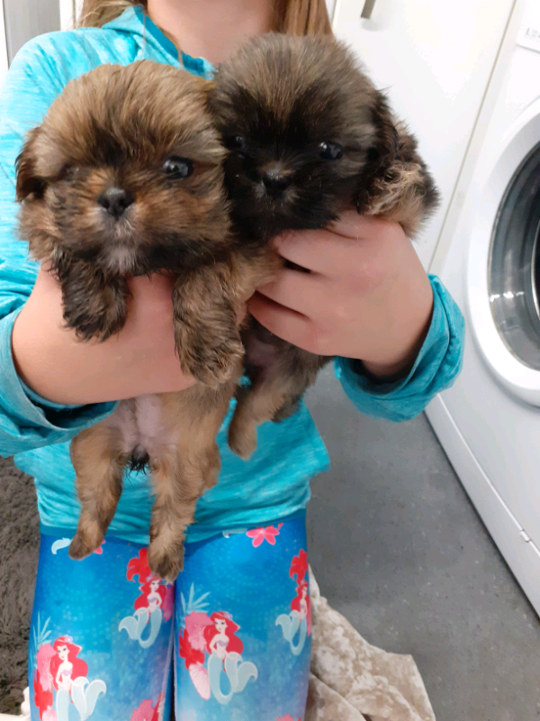 Shih Tzu Puppys In Kirkcaldy Fife Gumtree