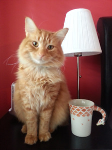 Lost Orange Cat