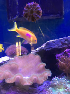 Saltwater Fish One Spot Foxface and Square Anthia fish