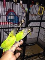 Mating pair Conures