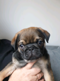 MALE PUGS for sale