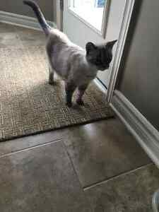 Found Female Cat - Light Brown Siamese Mixed Breed