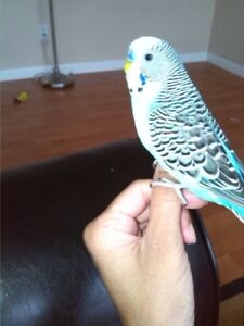 Lost blue BUDGIE in NewWest 10Dec, Moody Park, Please Help