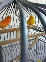 2 canary male et female a vendre